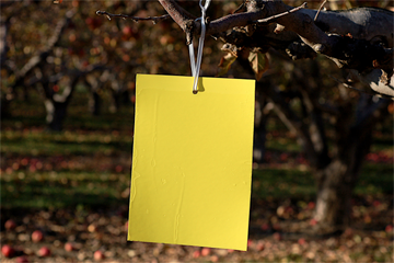 yellow sticky card trap
