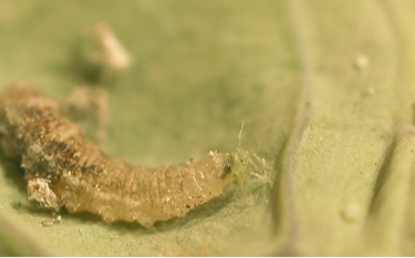 Syrphid fly larva